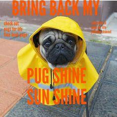 When it rains it pours pugs.... #pugs #dogs #retweet #pug #follow #like #puglife #dog #aww #funny #fun #cute #lol #pugchat #Pugs #humor