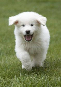 Cute Great Pyrenees Puppies For Sale. Great Pyrenees Information & Puppy Pyrenees Puppies, Great Pyrenees Puppy, Dogs And Puppies, Doggies, Puppy Images, Puppy Pictures, Adorable Pictures, Baby Animals, Cute Animals