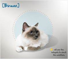 """Did you know that Birman cats once reached a precariously low number after World War II, when only two,  named """"Orloff"""" and """"Xenia de Kaabaa,"""" remained? Read more about this breed by visiting Petplan pet insurance's Condition Checker!"""