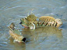 "Boleophthalmus boddarti (Blue-spotted Mudskipper) - ~5"" mudskipper ... funny funny fishies"