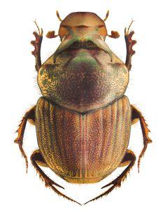 Onthophagus (s.str.) rectecornutus