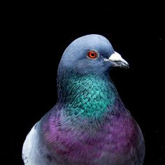 Beautiful iridescent pigeon.