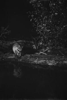 "George Shiras, ""Raccoon, Whitefish Lake, Michigan"" (1903) (© National Geographic Creative Archives)"