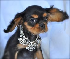Almostfamousdog presents: gorgeous Black and Tan Cavalier King Charles puppies! Www.almostfamousdog.com