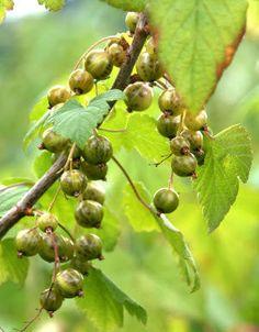 Ribes nigrum 'Vilma' viherherukka - Pinsiön taimisto