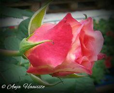 Beautiful rose - Kaunis ruusu.