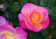 rose...  God's autograph.