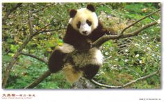 Sichuan Giant Panda Sanctuaries, home to more than 30% of the world's pandas which are classed as highly endangered, covers 924,500 ha with seven nature reserves and nine scenic parks in the Qionglai and Jiajin Mountains.