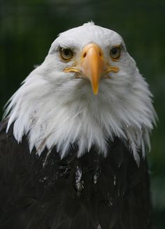 Bald #Eagle