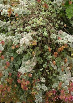 Growing Hermione's Garden: Origanum dictamnus - Dittany of Crete Moon Garden, Mediterranean Garden, Shade Trees, Native Plants, Crete, Botany, Colorful Flowers, Wonderful Time, Shrubs