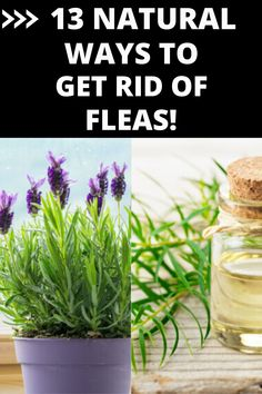 Flea Remedies, Herbal Remedies, Natural Remedies, Garden Bugs, Garden Pests, Schnauzers, Chihuahuas, Natural Fly Repellant, Household Bugs