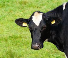 Cow, Milk Cow, Beef, Pasture