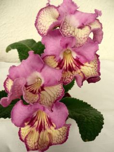 Streptocarpus 7011 ( Polish variety- large young plant)