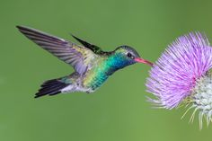 A Broad Billed Hummingbird feeding on a thistle in the southern AZ mountains Hummingbird Photos, Hummingbird Tattoo, Black Bird Fly, Thistle Tattoo, Arizona Mountains, Bird Tree, Mom Tattoos, All Things Cute, Colorful Birds