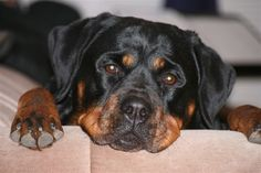 General health problems in Rottweilers click the picture to read