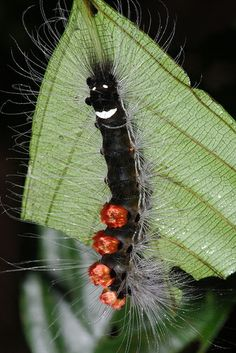 """Do ye not comprehend that we are worms, Born to bring forth the angelic butterfly That flieth unto judgment without screen?"" ~Dante Alighieri   Tussock Caterpillar"