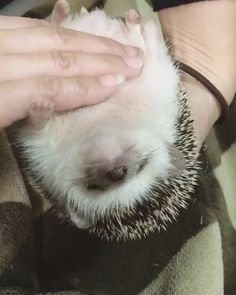 Cute Little Animals, Cute Funny Animals, Funny Animal Pictures, Happy Hedgehog, Cute Hedgehog, Hedgehog Supplies, Pygmy Hedgehog, Cutest Thing Ever, Animal Memes