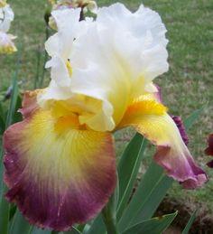 Tall Bearded Iris - STARSHIP ENTERPRISE