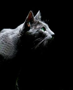 """Bird Watching"" russian blue cat by Leeo"