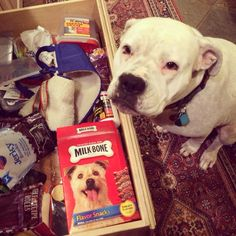 """""""She knows how to open the treat drawer, but never takes anything out. Usually when I walk into the kitchen she's just sitting there having a look."""" awws"""