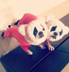 """Aaargh! We is Panda Bears!"" French Bulldogs in Costumes."