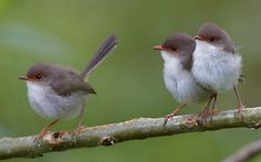 Fairy wrens - mother and girls by Steve Axford