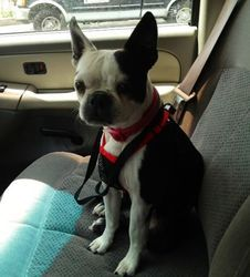 Iris is an adoptable Boston Terrier Dog in Kingwood, TX. Little Iris needs a home. She is a super sweet 5 year old girl whose foster home's large dog does not see eye to eye with Iris, and this could ...