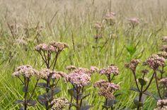 Oudolf's personal garden, Hummelo, Netherlands _/\/\/\/\/\_  Sedum 'Matrona' & Sesleria autumnalis