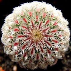 cactus - Echinocereus rigidissimus (likely var. rubrispinus)