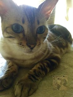 Bengalkatzen-marble-snow-beautiful cats-Katzenblog Egyptian Mau, Beautiful Cats, Marble, Snow, Animals, History, Pictures, Pretty Cats, Animales
