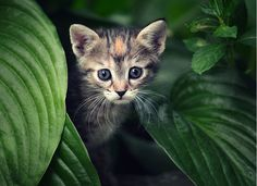 Adorable cute little kitty looking behind the big leaves... click on picture to see more