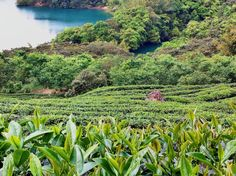 In green. ( #teagarden / #teaplantation / #teatree / #shiding / #newtaipei / #taiwan / #thousandsislandslake / #2015 / #田園 / #茶園 / #茶樹 / #石碇 / #新北市 / #臺灣 / #台灣 / #台湾 )