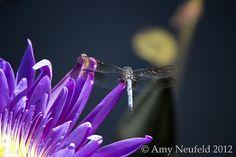 Dragonfly on a water lily taken at the NY Botanical Garden by Amy Neufeld. Ny Botanical Garden, Damselflies, Amy, Water, Jewelry, Gripe Water, Jewlery, Jewerly, Schmuck