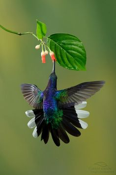 fairy-wren:    violet sabrewing  (photo by deep green photography)
