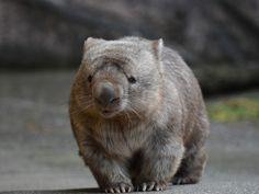 Cute Wombat, Baby Wombat, Animals And Pets, Funny Animals, Cute Animals, What Is A Wombat, Bird People, Australian Animals, Creature Design