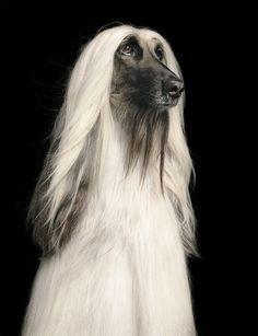 Love My Dog, Afghan Hound, Fox Dog, Dog Cat, Pet Dogs, Dogs And Puppies, Doggies, Photo Animaliere, Mundo Animal