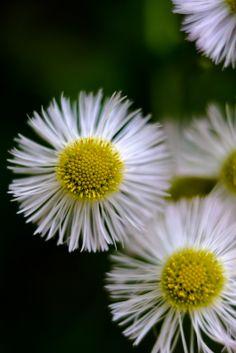 060514 Fleabane Daisy ~  common fleabane - はるじおん
