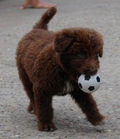 Bordoodle (Border Collie / Poodle hybrid)