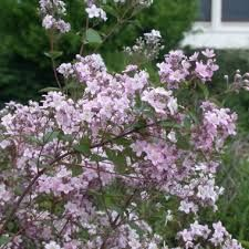 Image result for deutzia lavender time
