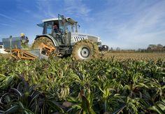 Macchine agricole atte alla #raccolta del #radicchio #tardivo #IGP