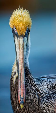 Brown Pelican - title Why the long face... by Daniel Parent