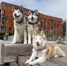 Alaskan Husky, Alaskan Malamute, Wolf Husky, Husky Dog, Most Beautiful Dogs, Amazing Dogs, Samoyed Dogs, Pet Fox, Snow Dogs