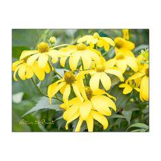 Gelber Sonnenhut Rudbeckia bringt Licht in den Garten. Plants, Summer Flowers, Photo Wallpaper, Lawn And Garden, Plant, Planets