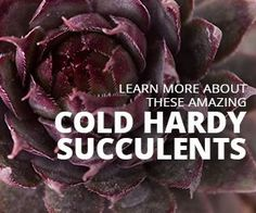 Learn why these cold hardy Sempervivum change colors