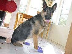 PAWZ Traction Boots Protect Tripawd Dog's Feet from Slippery Floors