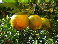 Organic Bergamot essential oil benefits include being an antiseptic, antibiotic, sedative, antidepressant, disinfectant, analgesic. How to use, precautions.