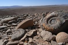 CHILE ATACAMA   Ammonite fossils in the Atacama Desert give evidence, that once there was an ocean here.