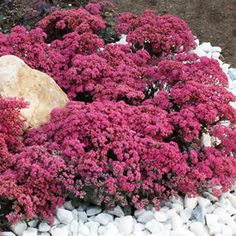 Sedum 'Dazzleberry' flowers - Compact ground cover. Blooms late summer - Fall. Grey-green foliage