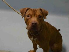 SAFE 12-26-2015 Brooklyn  Rescue: Bobbi and the Strays --- Brooklyn Center SCOOBY – A1060543  MALE, GOLD / WHITE, AM PIT BULL TER MIX, 1 yr STRAY – STRAY WAIT, NO HOLD Reason STRAY Intake condition UNSPECIFIE Intake Date12/14/2015,