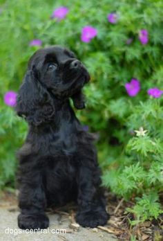 Black Cocker Spaniel - this is what Lula will probably look like when she grows up
